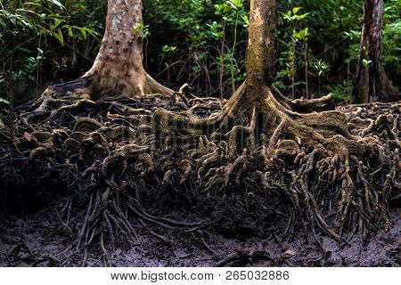 Mangrove tree roots in the jungle river banks of Aru islands, Indonesia