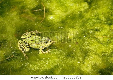 Green Frog In A Lake In Summer