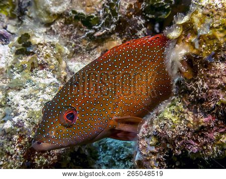 Cephalopholis Fulva Is A Species Of Grouper From The Western Atlantic