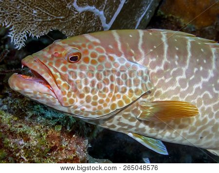 Tiger Grouper,mycteroperca Tigris Is A Species Of Fish In The Family Serranidae.