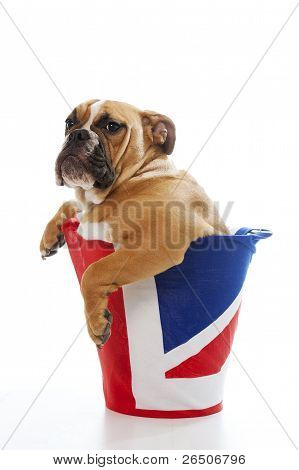 British Bulldog Puppy