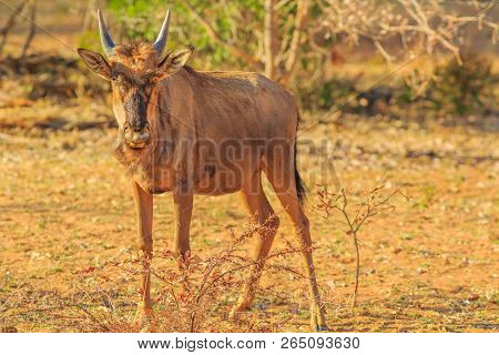 Calf Of Wildebeest, Connochaetes Gnou, Standing In The Savannah, Pilanesberg National Park, South Af