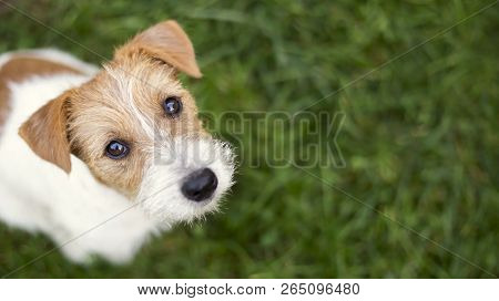 Dog Face - Cute Happy Jack Russell Pet Puppy Looking In The Grass, Web Banner, Background With Copy