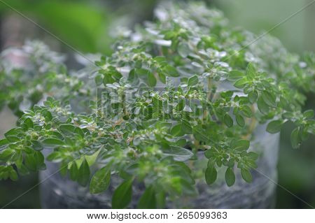 Artillery Plant, Pilea Microphylla, Central Of Thailand