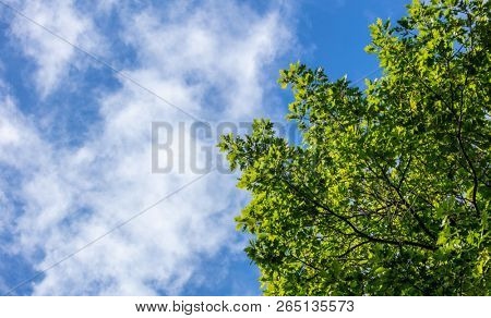 Part of evergreen tree beneath blue sky with few clouds background. Copy space, under view of  the plant.