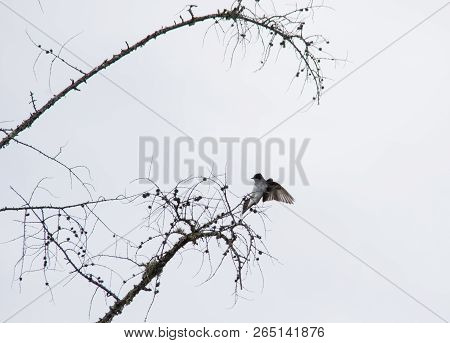 Swallow Silhouette In Tree Very Stark Contrast Black And White