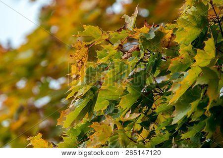 Autumn Maple Leaves In Sigulda, Latvia. Mapple Tree Has Lobed Leaves And Colourful Autumn Foliage.