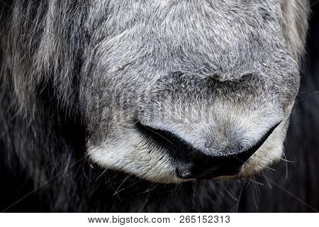 Large And Wet Nose Of An Ungulate. It Is Very Interesting To Look Close Up.