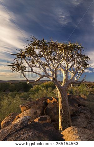 Landscape Of A Quiver Tree With Blue Sky And Thin Clouds In The Dry Desert