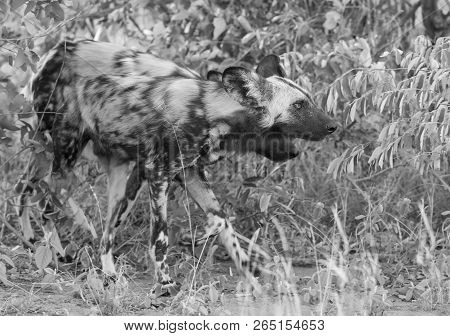 Pack Of African Wild Dogs Hunting For Food In The Bush In An Artistic Conversion