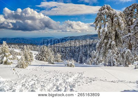 Winter Forest Landscape In Troodos Mountains, Cyprus.