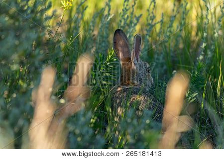 Wild Hare Hides In The Shadows In Tall Grass