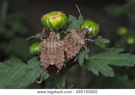 Brown Marmorated Stink Bug (halyomorpha Halys) On Green Leaves (ita: Cimice Asiatica; Deu: Marmorier