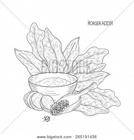 Horseradish. Sketch .root, Leaves, Slice, Scoop. Monochrome