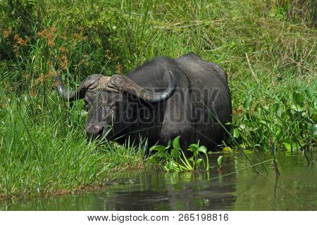 A Cape Buffalo Is Feeding In The Nile River In Murchison Falls National Park Uganda