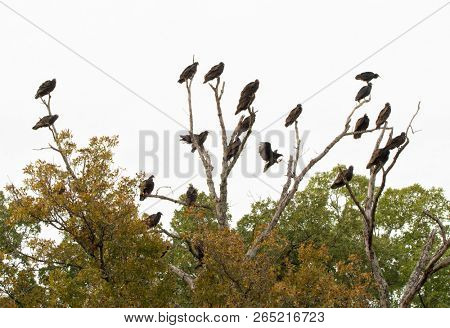 A large community group of Turkey Vultures, also called a commitee, roosting on a dead tree on an overcast fall day