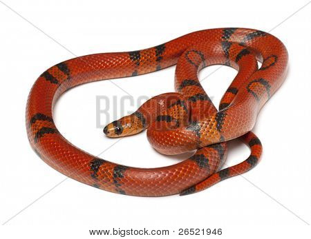 Hypomelanistique Honduran milk snake, Lampropeltis triangulum hondurensis, in front of white background poster