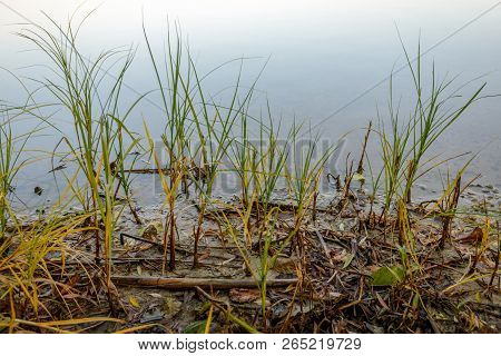 Grasses And Reeds Up Close In The Foreground On The Muddy Edge Of A Lake