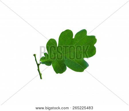 Green Oak Leaf With Stalk Isolated On A White Background. Macro