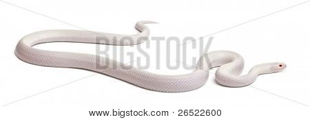 Snow eastern kingsnake or common kingsnake, Lampropeltis getula californiae, in front of white background