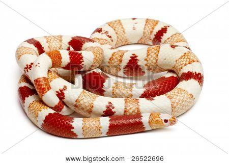Albinos Honduran milk snake, Lampropeltis triangulum hondurensis, in front of white background poster