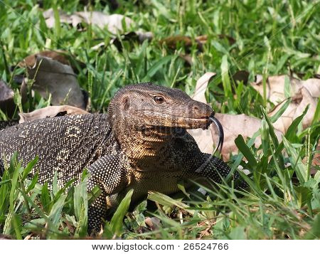 giant lizard flicking its tongue when it found bird eggs on the ground poster