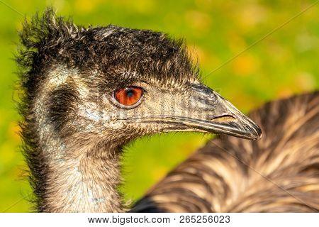 Portrait Of An Emu Dromaius Novaehollandiae Head With Orange Eyes