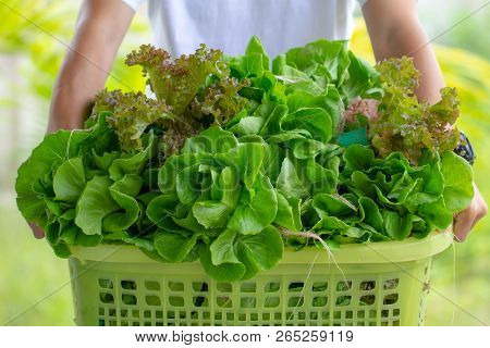 Close Up Man Holding Basket Box Full With Fresh Vegetables Green Cos Romaine And Red Coral Lettuce F
