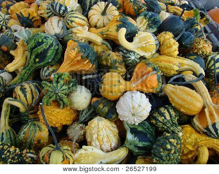 Gourds at Harvest