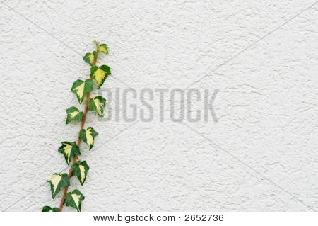 Ivy On A White Wall Of A House