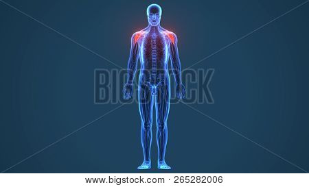 3d rendered, medically accurate illustration of the deltoid poster