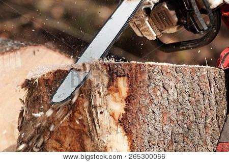Closeup Detail Of Stump Removal Of A Felled Spruce Tree With Chainsaw