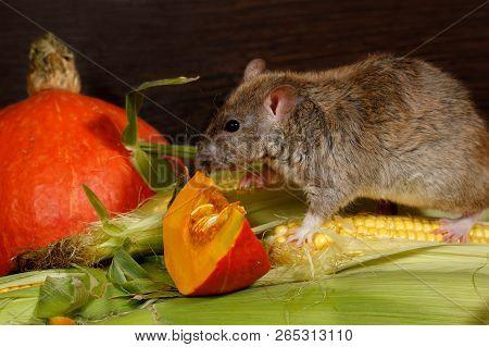 Close-up Rat  (rattus Norvegicus) Climbs On Corn Near Orange Pumpkin Inside  Of  Pantry.small Dof Fo