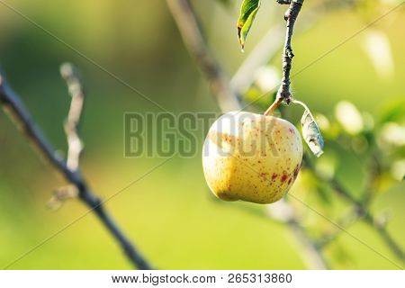 Fresh Raw Yellow Sunny Apple On The Branch In The Garden On Sunny Day. Close Up, Shallow Depth Of Th