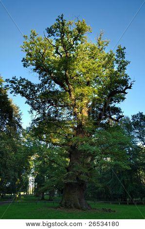 1000 year old oak tree