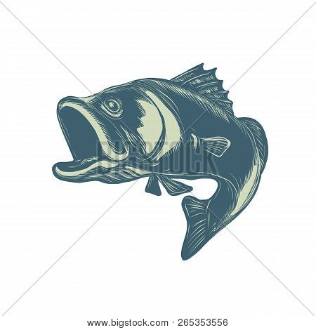 Scratchboard Style Illustration Of A Barramundi Or Asian Sea Bass, A Species Of Catadromous Fish In