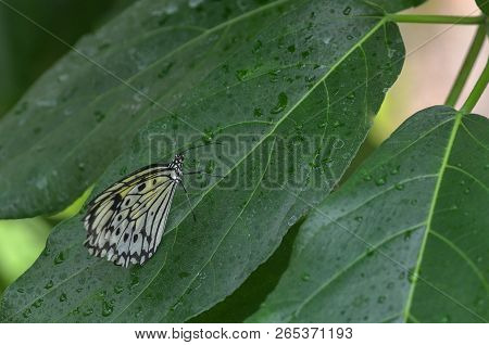 Big Spotted Butterfly, Tree Nymph Butterfly, Rice Paper Butterfly, Idea Leuconoe In A Greenhouse,  T