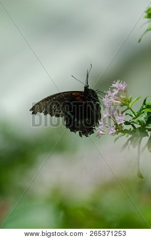 Papilio Memnon (great Mormon) Butterfly Resting  On A Flower.