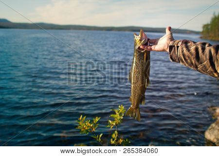 Spinning fishing (lure fishing) trout in lakes of Scandinavia. Brook trout (steelhead rainbow trout, char, bull-trout, cutthroat, lax, Salmo trutta trutta - male) caught on rotating spinner poster