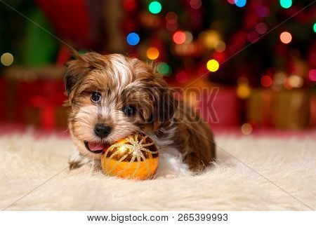 Cute Havanese Puppy Dog Is Playing With A Golden Christmas Tree Ball Ornament