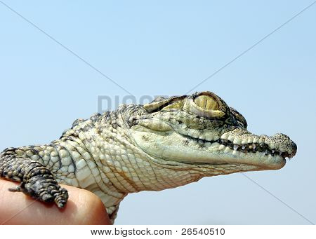 Nile Crocodile Baby