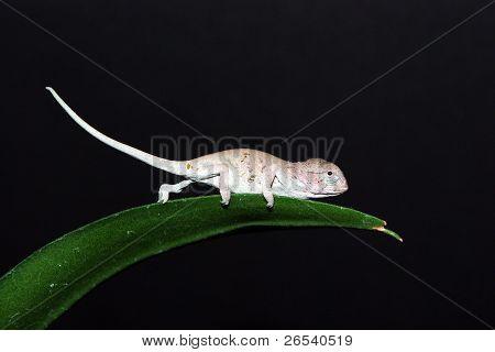 Baby Carpet Chameleon