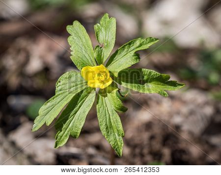Lovely Yellow Anemone Ranunculoides Blooming In The Spring