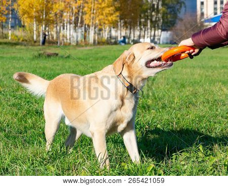 Sunstroke, Health Of Pets In The Summer. Labrador. Dogs Play With His Owner, Dogs Play With Ball And