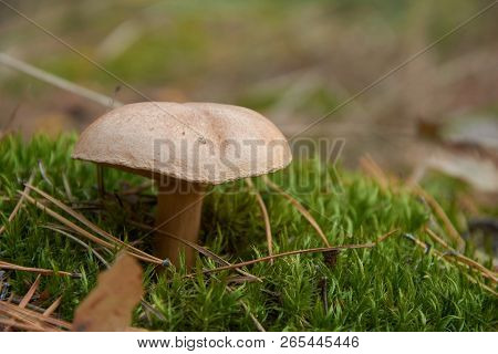 Suillus Bovinus, Also Known As The Jersey Cow Mushroom Or Bovine Bolete