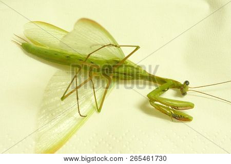 beautiful praying mantis