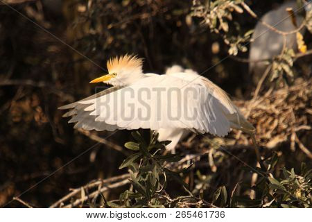 beautiful white heron