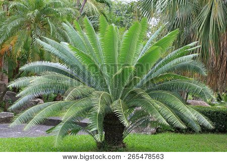 Gum Palm Or Giant Dioon (dioon Spinulosum Dyer) The Tropical Cycad Palm Plant On Green Garden.