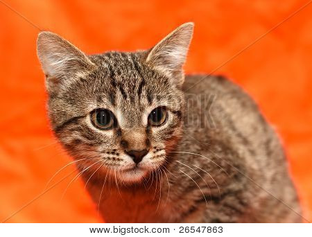 Close Up Of Tabby Cat
