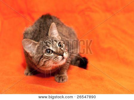 Tabby Cat On Orange Background